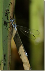 blue tailed damsel wings