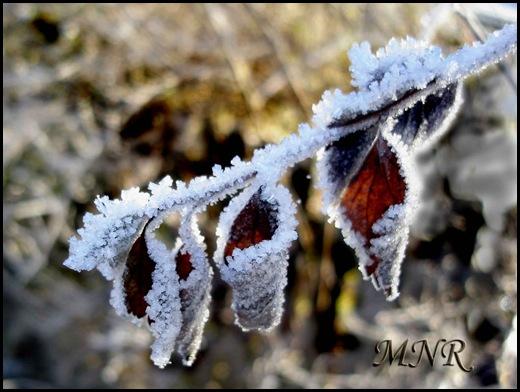 Löv-med-rimfrost.