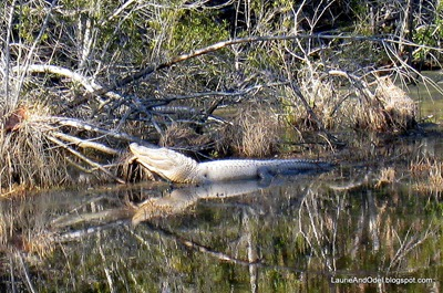 Davis Bayou Alligator
