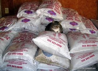 Boss cat on the rice