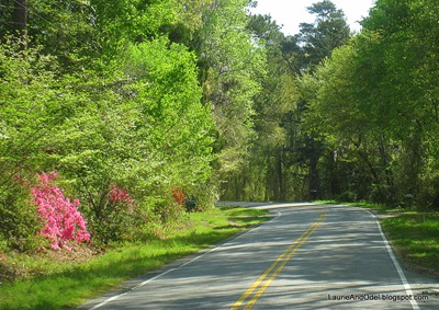 Azalea blooming on the side of a country road.