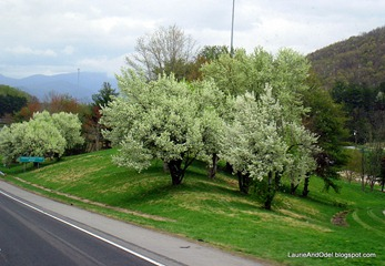 Trees blooming along the interstate