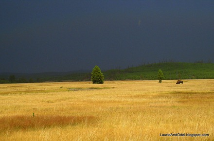 Bison and golden grass