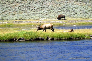 A bison, a bull elk and a harem member