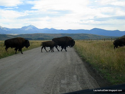 Bison on the move across Mormon Row