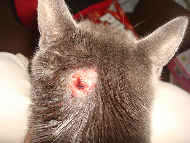 Cat Has Open Sores On Back
