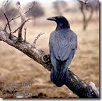 corvus21