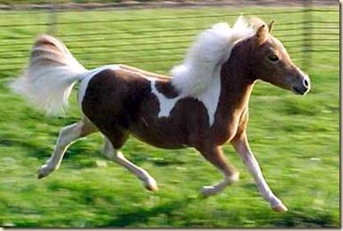 miniature-horse-0008