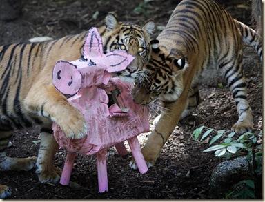 tigers-pig_1828312i