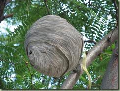 Huge Wasps Nest (11) (Medium)