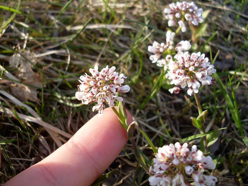 Backskärvfrö Thlaspi caerulescens