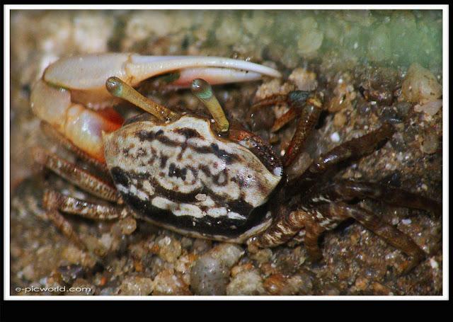 crab picture
