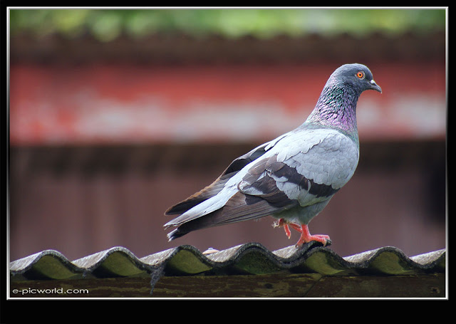 pigeon bird picture