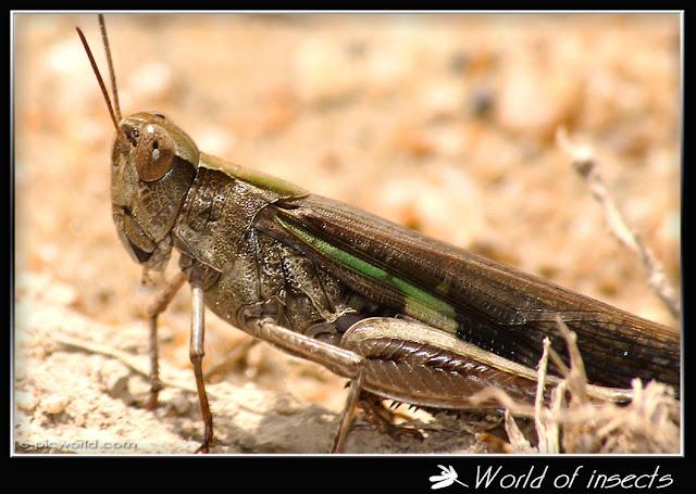 grasshopper picture