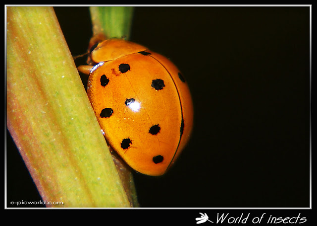 Beetle lady bug photo