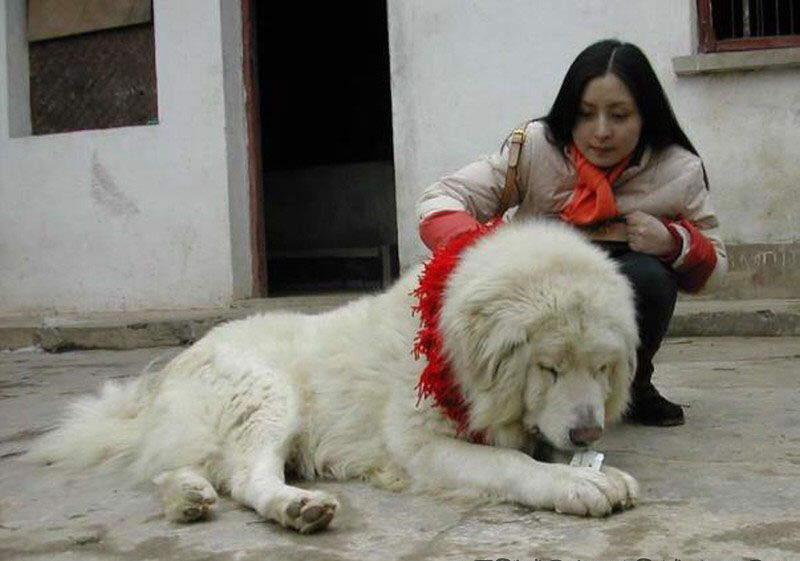 Nepalese Dogs Look Like Lions ?