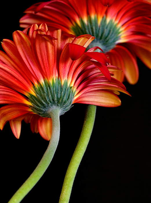 : Beautiful Flowers Blooms.................Amazing Beauty