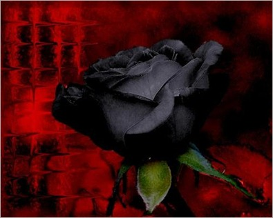 Black-Rose-Red-Background-1