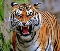 authoritative blog tiger