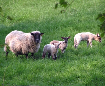 Sheep-And-Lambs