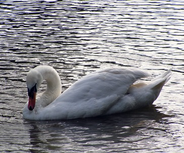 Swan-At-Linslade-Canal-(13)