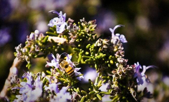 Bee on Lylac Bush 2