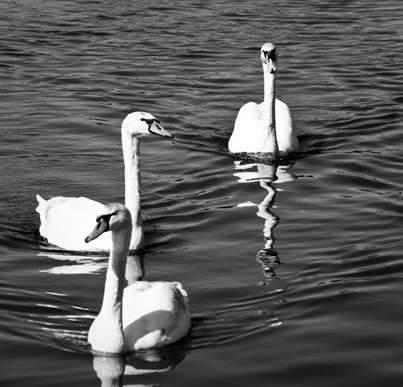 Munich Swans