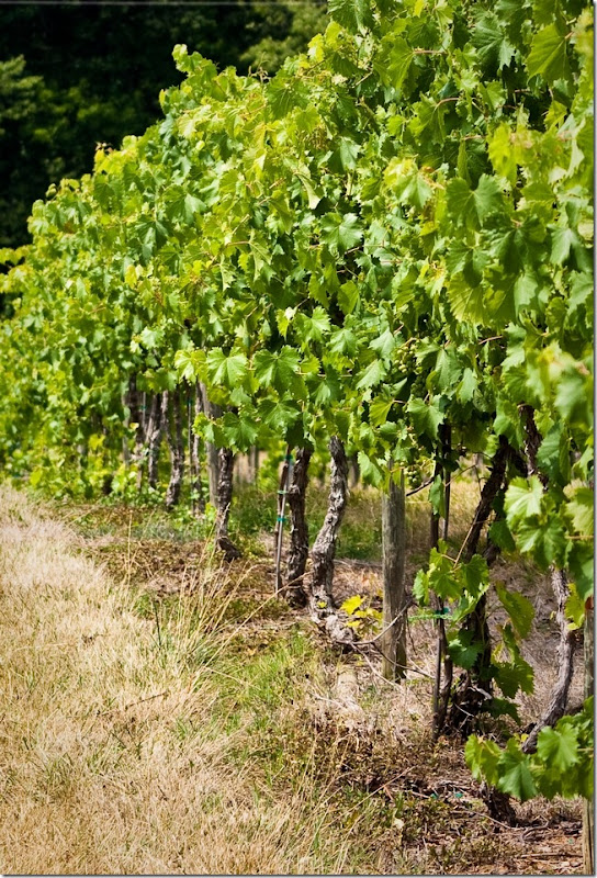 Virginia Vineyard