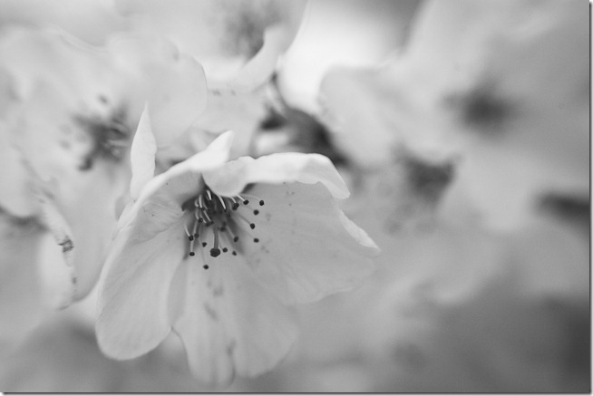 Cherry Blossoms - Lensbaby Macro Black and White-1