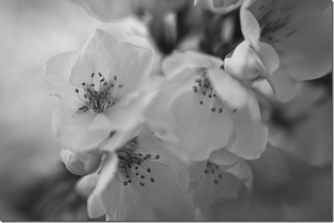 Craig Corl Photography DC Cherry Blossoms With Lensbaby Macro Black