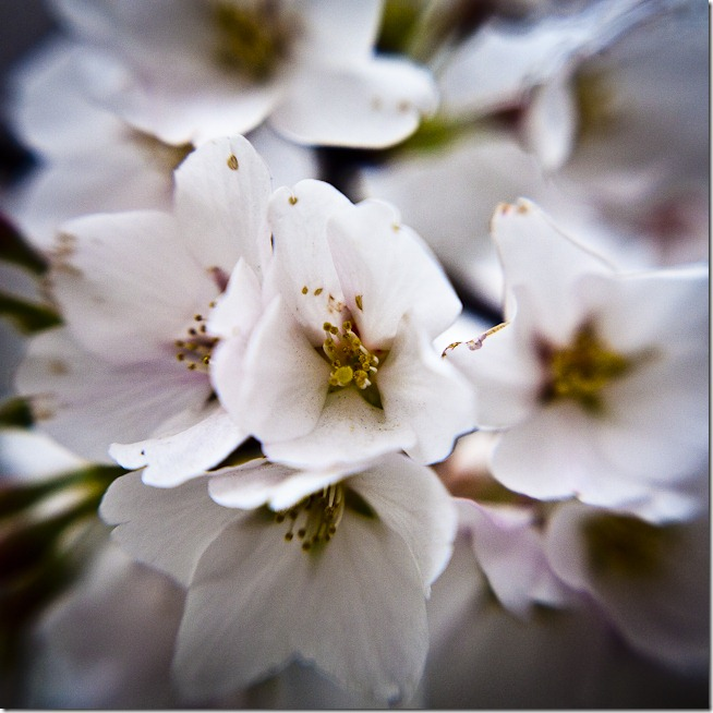 Cherry Blossoms - Lensbaby Macro Color-1