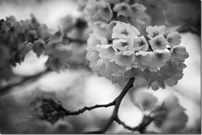 Cherry Blossoms Black And White 3
