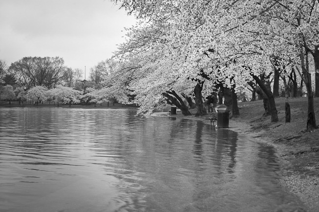 Cherry Blossoms under Flood