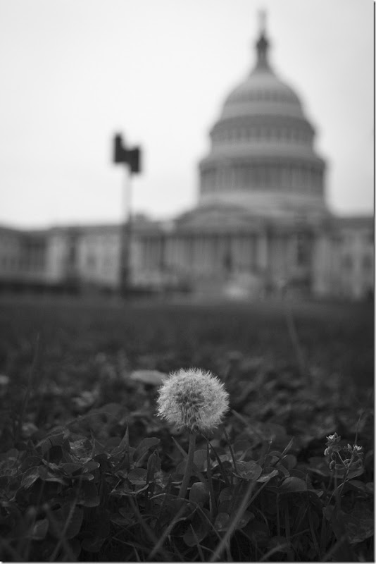 Capitol Dandelions-1