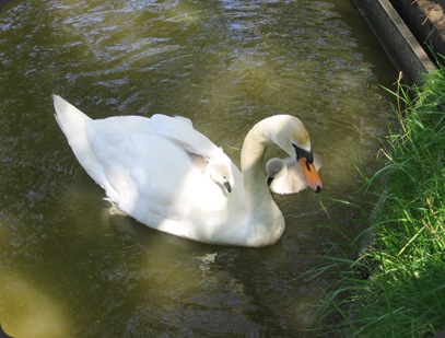 How sweet is this?  Beautiful swans on the lake at St. Anne's on Sea. 15/06/05