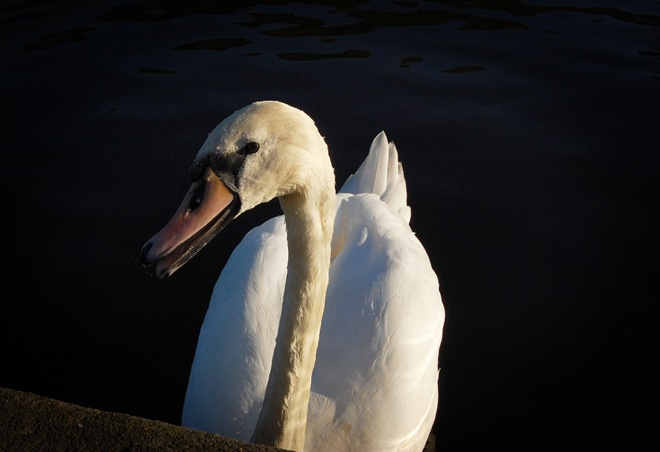 Is this swan smiling at me?
