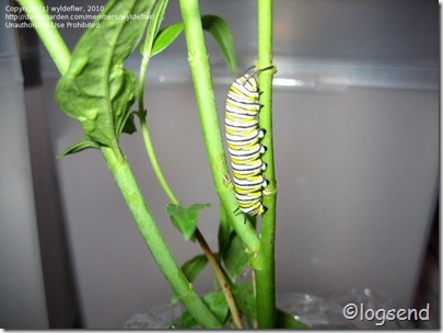 Monarch catapillar