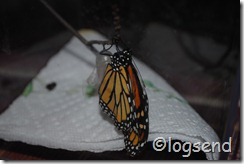 monarch wings almost full