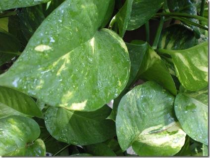 Ivy (3)