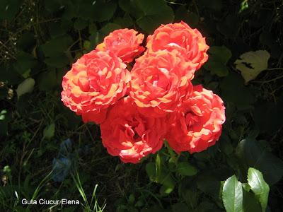 trandafiri incandescenti