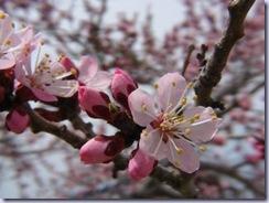 pink_apricot