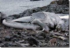 blue whale skull