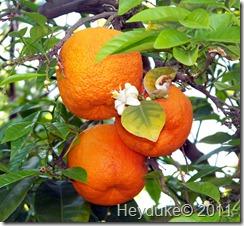 ASU oranges