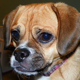 Zoe........The Frowning Puggle  by Monroe Phillips - Animals - Dogs Portraits