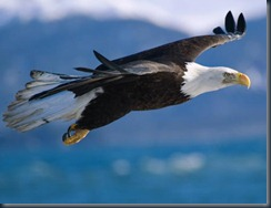 bald-eagle-flight1