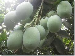 Foto Courtesy 'Geng Penunggu Pohon Mangga' halaman belakang Kantor KYPA