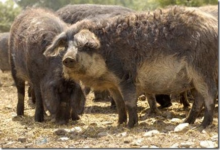 GENUSS REGION - Pannonisches Mangalitzaschwein -