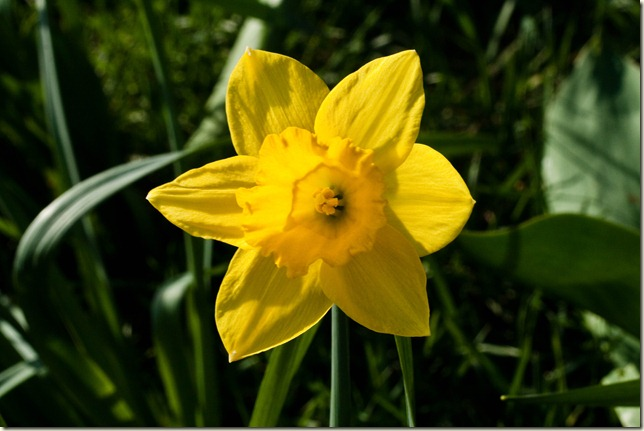 daffodils-1-4