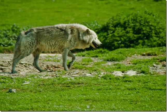 wolf-1-2