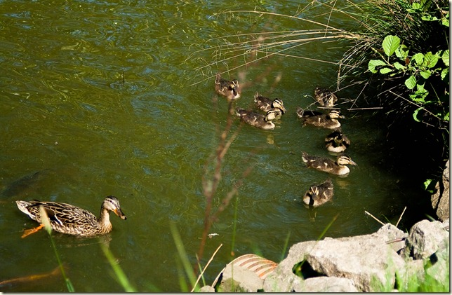 ducklings-1